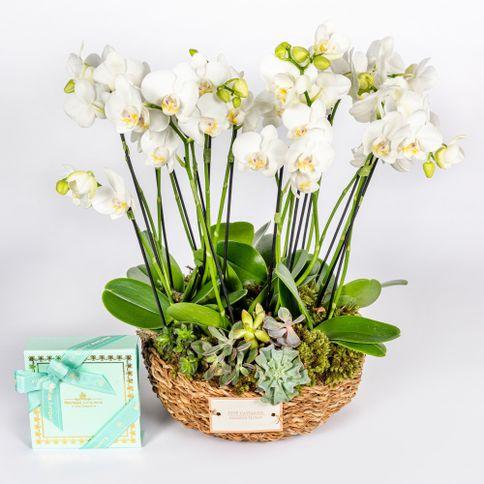 Mini-Orquidea---Covent-Garden-Candy